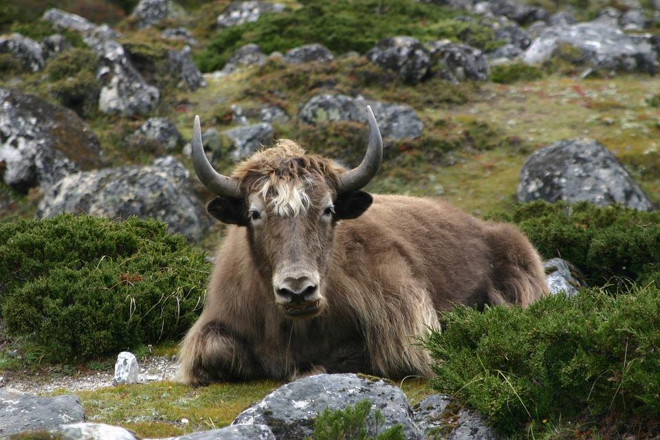 Yak in Himalayas